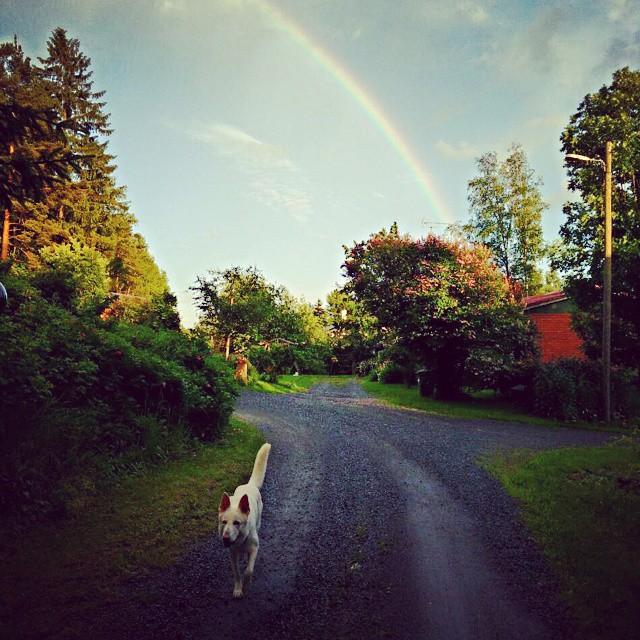 #Aurinkopaistaajavettäsataa#taitaatullakesä#romeo #pompsuttaja #valkoinenpaimenkoira #kesä#loma#sateenkaari#summer#rainbow#whiteswissshepherd #dogsofinstagram